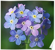 Forget me nots ,.....  if I remember right.! Poster