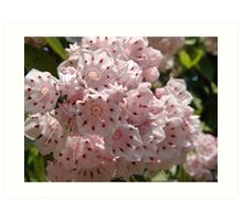 Mountain Laurel  (Kalmia latifolia) Art Print