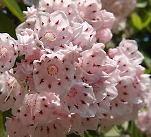 Mountain Laurel  (Kalmia latifolia) by May Lattanzio