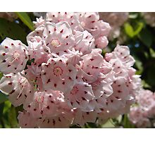 Mountain Laurel  (Kalmia latifolia) Photographic Print