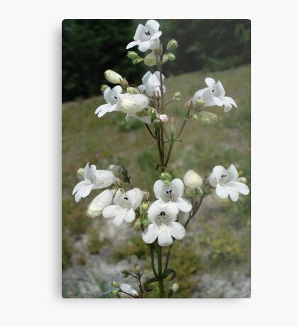 Foxglove Beard-Tongue (Foxglove Penstemon) Metal Print