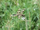 Yellow and Black Striped Dragonfly Hanging on in the wind by Barberelli