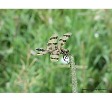 Yellow and Black Striped Dragonfly Hanging on in the wind Photographic Print