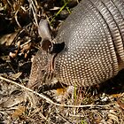 Armadillo by David Lee Thompson