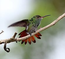 Rufous-tailed Hummingbird by hummingbirds