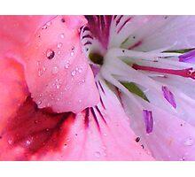 pelargonium number 2 Photographic Print