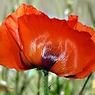 Poppy Profile by Holly Werner
