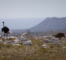 Ostrich Couple at Cape Point, South Africa by Tobin Rogers