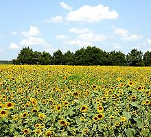 Sunflower Fields by victor246