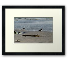 Pied Oyster Catchers  Framed Print
