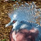 Victoria Crowned Pigeon by Gili Orr