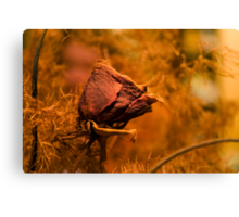 Withered rose Canvas Print