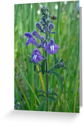 Florida Skullcap (Scutellaria floridana) by May Lattanzio