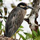 Night-Heron ( Yellow-crowned ) by Teresa Zieba