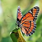 Monarch Butterfly by Jeff Ore
