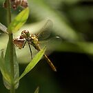 Dragonfly by AnnieSnel