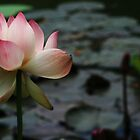 Pink Lotus in a Pond by gustinegirl