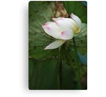 Pink-tipped white lotus on a pond Canvas Print