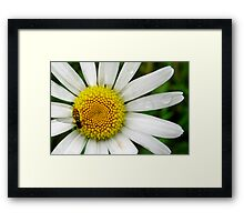 Loves Me, Loves Me Not... Framed Print