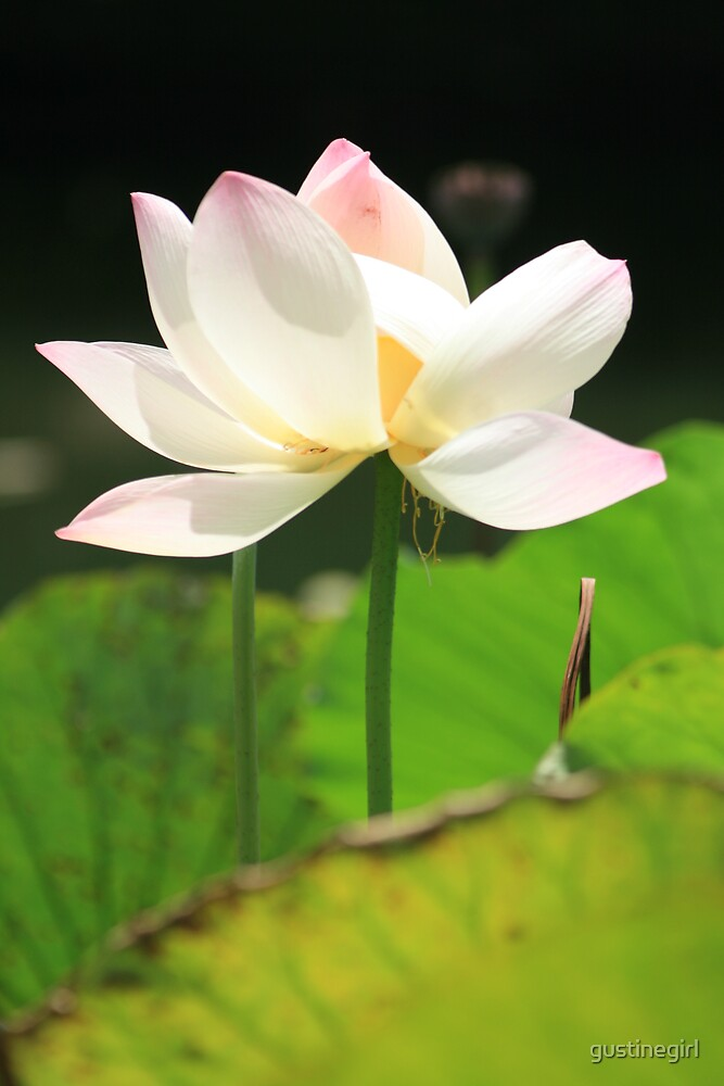 White Lotus in a Pond by gustinegirl