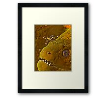 Cleaner Shrimp on Moray Framed Print