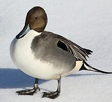 Northern Pintail by lloydsjourney