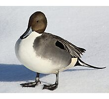 Northern Pintail Photographic Print