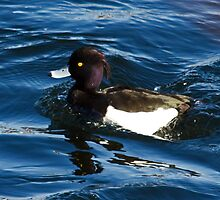 Tufted Duck by lloydsjourney