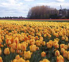 Dutch Bulb Fields by Peter Stephenson