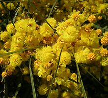 Golden Wattle by lezvee