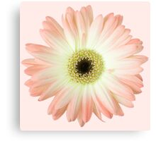 Peachy Daisy Canvas Print