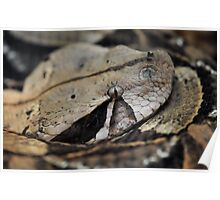 West African Gaboon Viper Poster