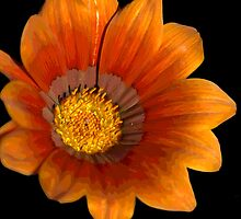 Gazania Pop by Donna Adamski