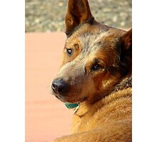 Murphy ~The Cow Dog Photographic Print