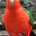 King Parrot on the move. by Kaylene Passmore
