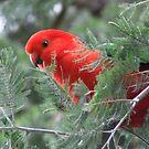 King Parrot by Kaylene Passmore
