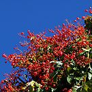 Illawarra Flame Tree, Williams Sq. Warragul  by Bev Pascoe