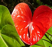 Just another Anthurium. by Hannah Fenton-Williams