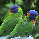 Rainbow Lorikeets by Tom Newman