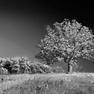A grand old tree by cclaude