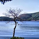 A Tree Grows in Acadia by Monnie Ryan
