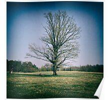Lone oak tree in a field Poster