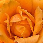 Orange Rose by Luke Martin