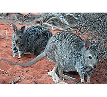 """Banded Hare-Wallabies"" Shark Bay, Western Australia Photographic Print"