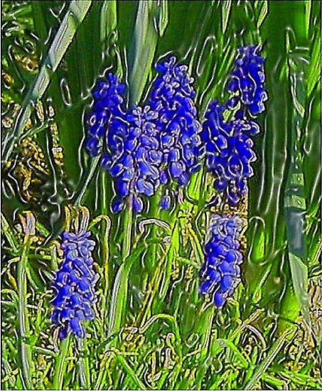 Grape Hyacinths by Holly Martinson