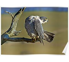 Peregrine stretching Poster