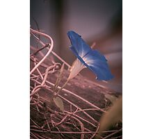 Little Blue Flower Photographic Print