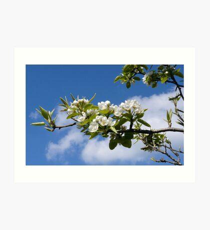 Apple tree flowering Art Print