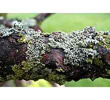 Lichens on a Branch Photographic Print