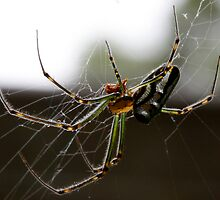 Silver Orb Spider - Leucauge dromedaria by Normf